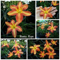 Rain Lily Rustic Rays