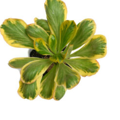 Euphorbia Poissonii Variegated