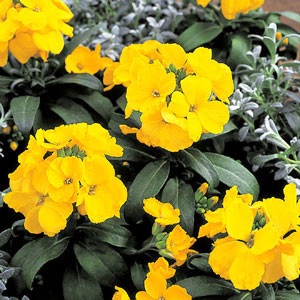 Erysimum charity Yellow