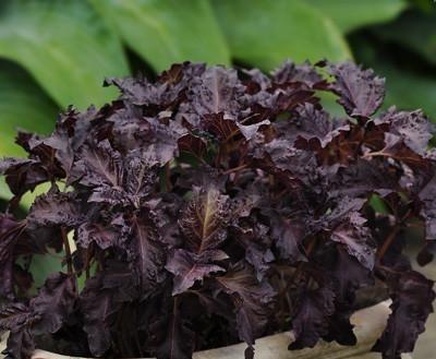 Basil Purple Ruffles