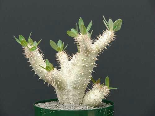3 Seeds densiflorum Succulent Caudex PACHYPODIUM densiflorum var