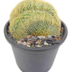 Notocactus Leninghausii Cristata