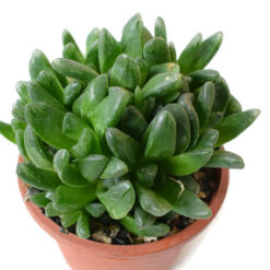 Haworthia truncata Hybrid