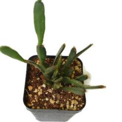 Christmas Cactus Nano