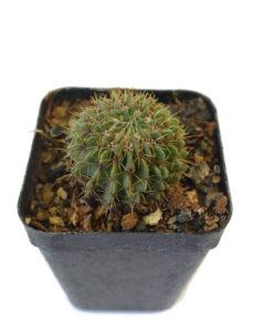 Notocactus buiningi