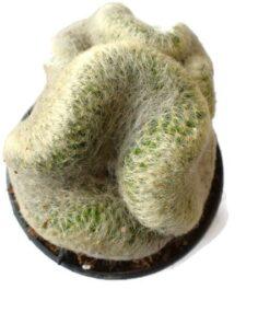 Mammillaria Baumii Crest