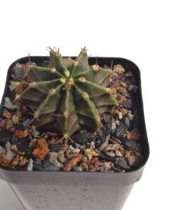 Gymnocalycium mihanovichii